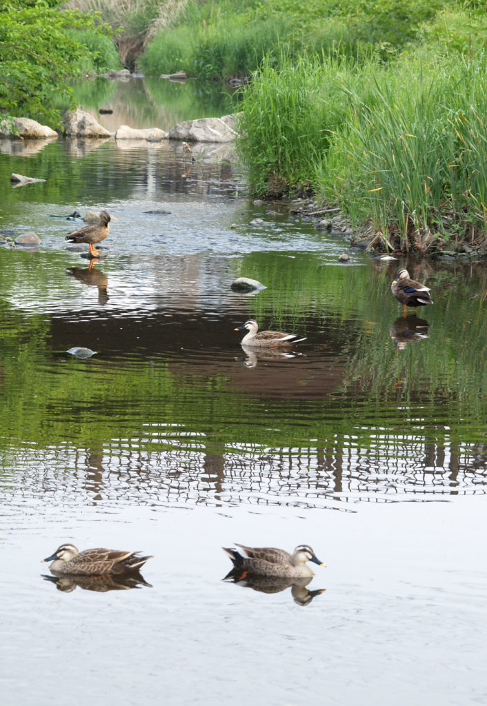 三鷹 野川の風景 野川を泳ぐカモ、白鷺も飛んできます