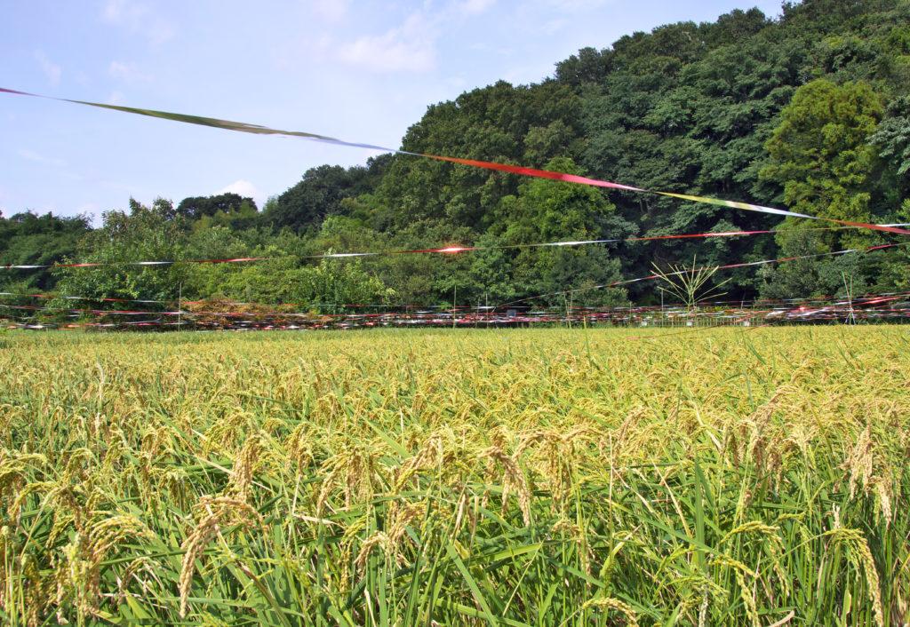 三鷹の大沢の里 夏の終わりちびっ子農業体験の田圃