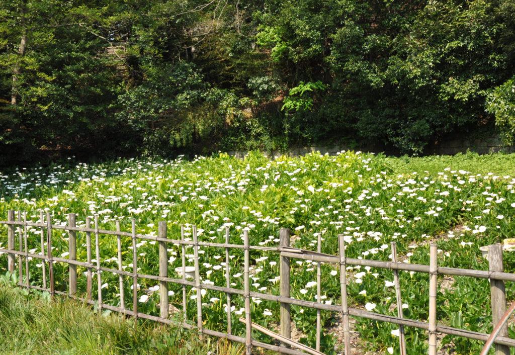 三鷹の大沢の里 4月になると白いカラーが咲く