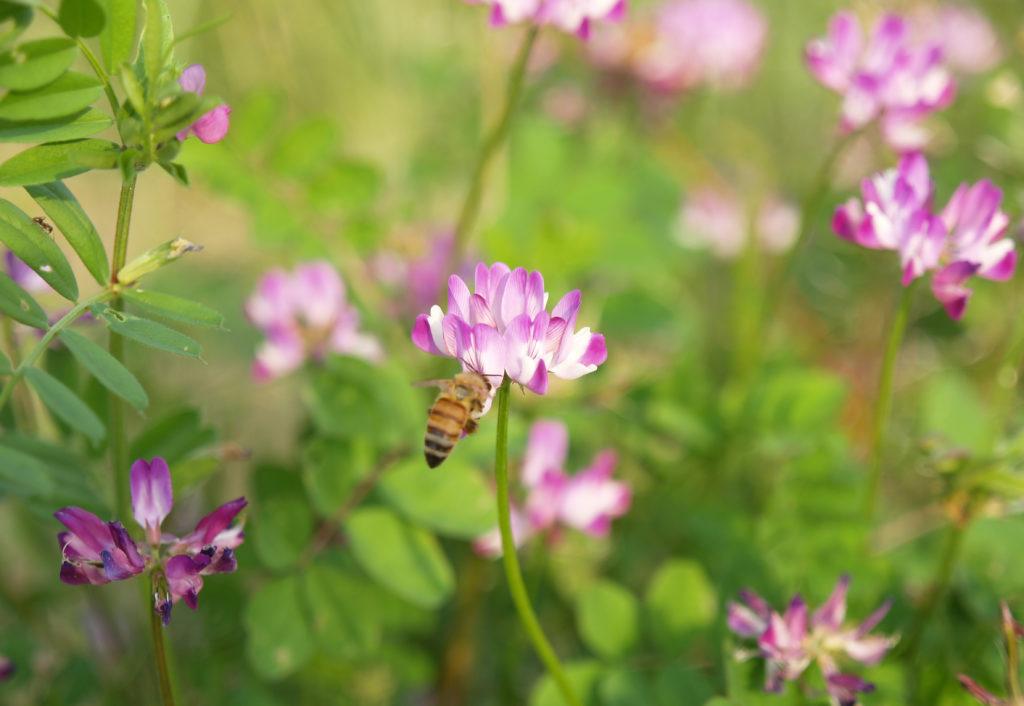 三鷹の大沢の里 田植え前の草原に咲くレンゲの花とミツバチ