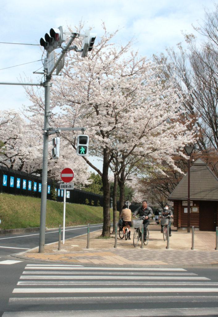 武蔵野市 境浄水場のまわりの玉川上水と桜並木