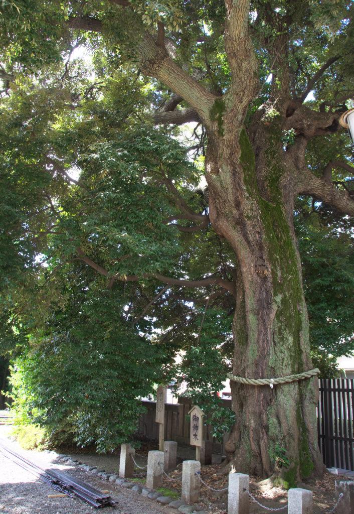 三鷹八幡大神社 御神木のすだじい、三鷹市の天然記念物