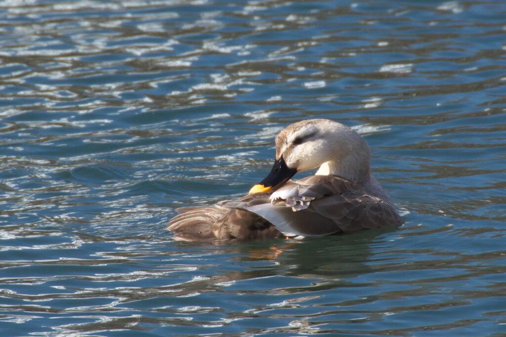 井の頭公園 水鳥 バードウォッチング カルガモ