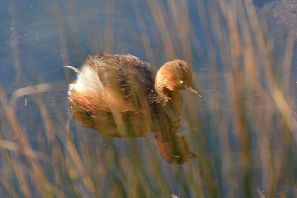 井の頭公園 水鳥 バードウォッチング カイツブリ