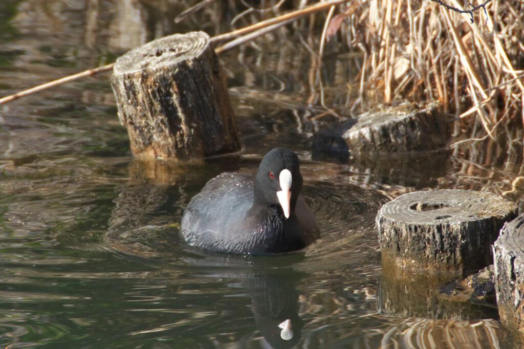 井の頭公園 水鳥 バードウォッチング オオバン