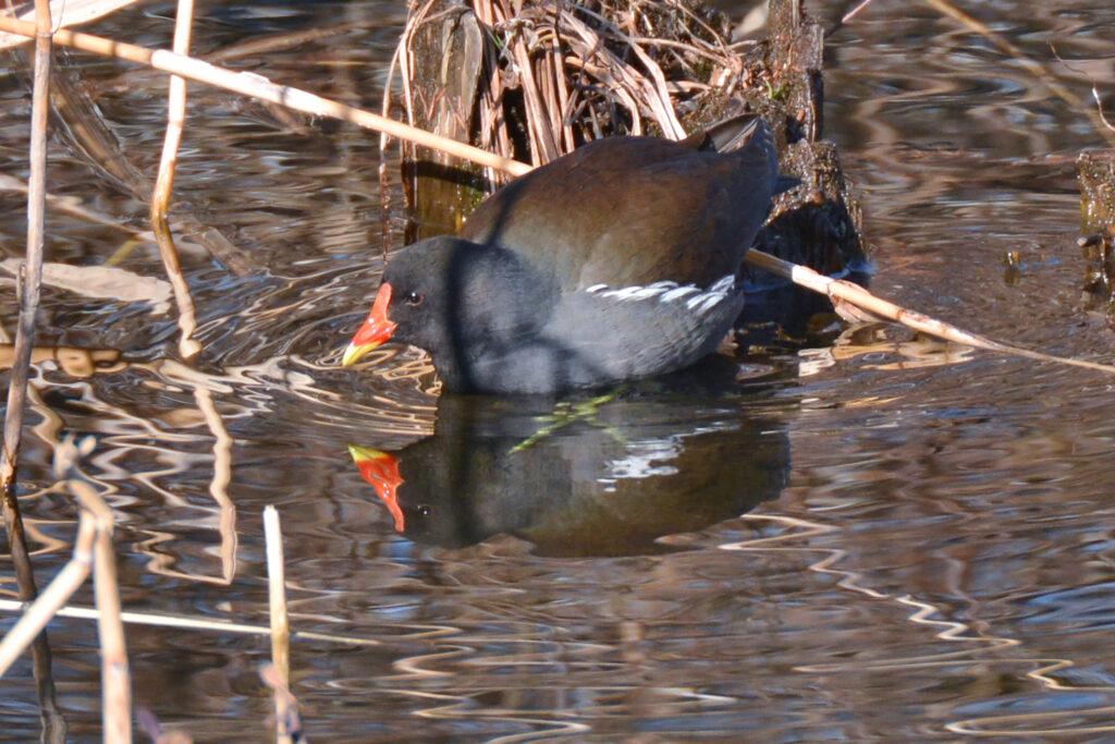 井の頭公園 水鳥 バードウォッチング