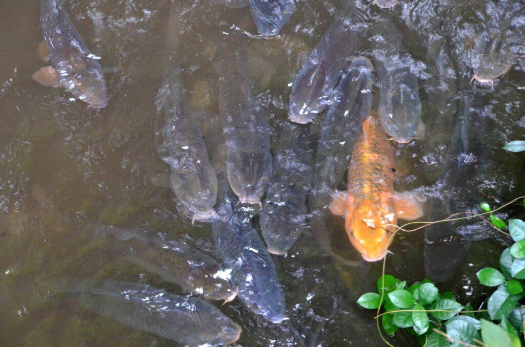 三鷹 堀合遊歩道 川にはコイがたくさんいます