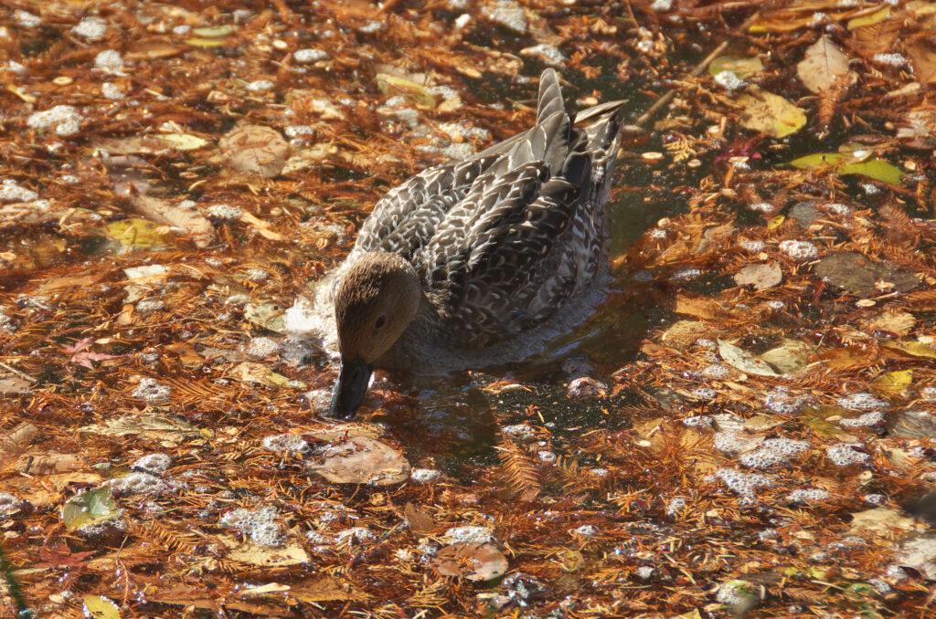 井の頭公園の秋 水鳥