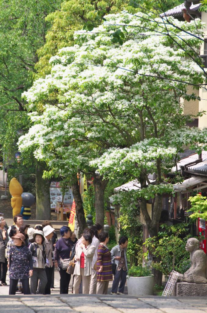 調布市 深大寺 ナンジャモンジャの木