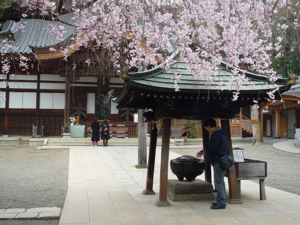 調布市 深大寺 境内のしだれ桜
