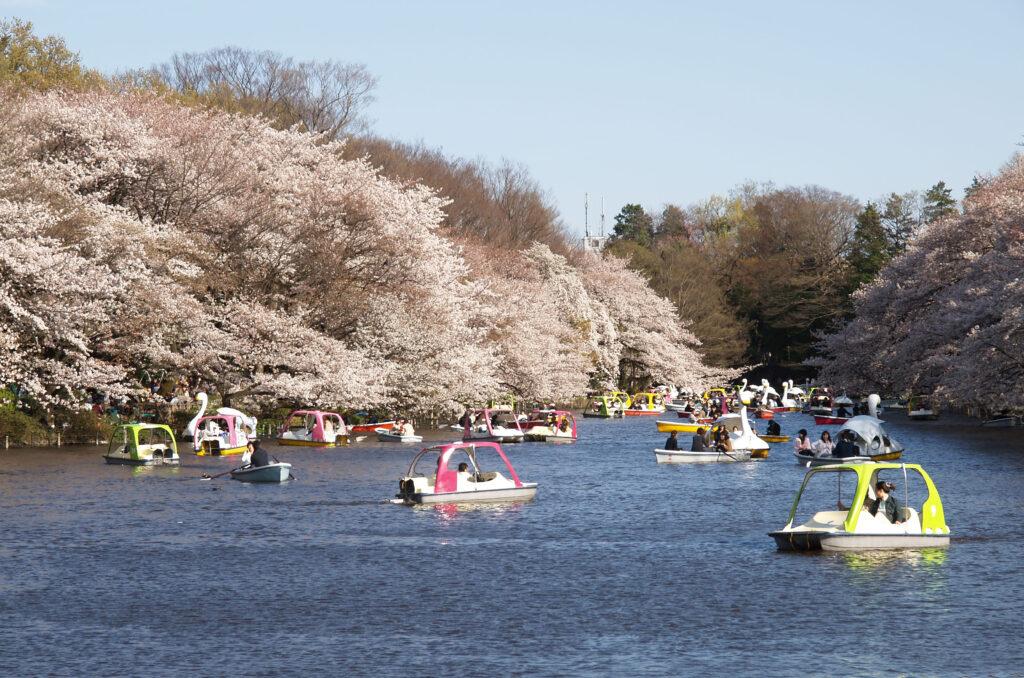井の頭公園  桜とボート
