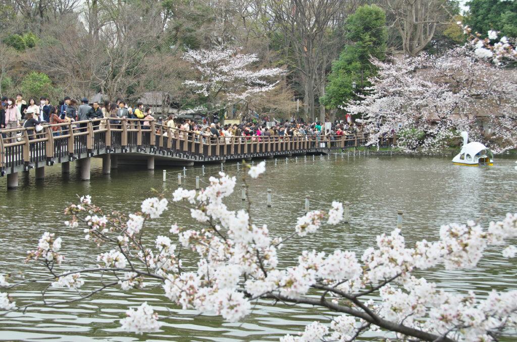 井の頭公園の桜と七井橋
