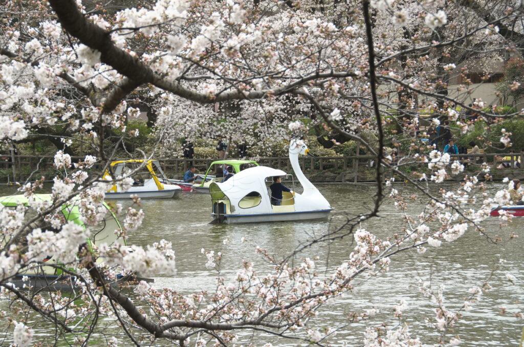 井の頭公園の桜とボート