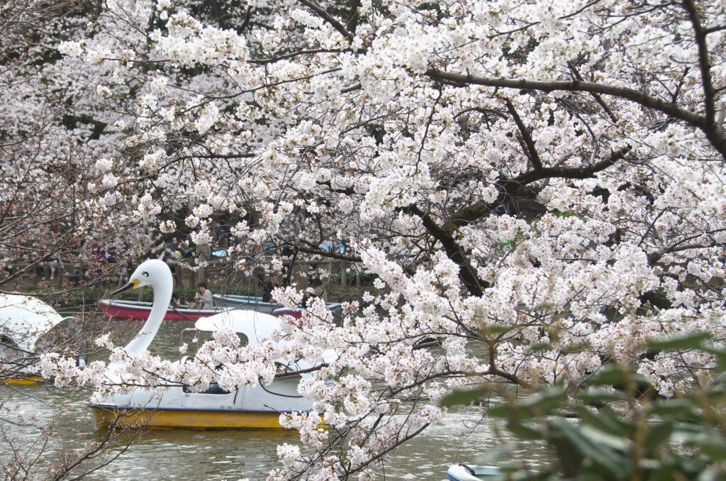 井の頭公園の桜とスワンボート