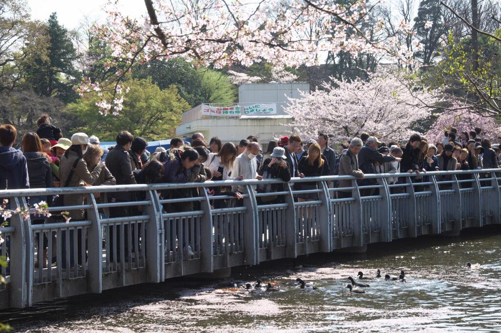 井の頭公園の桜と七井橋 水鳥