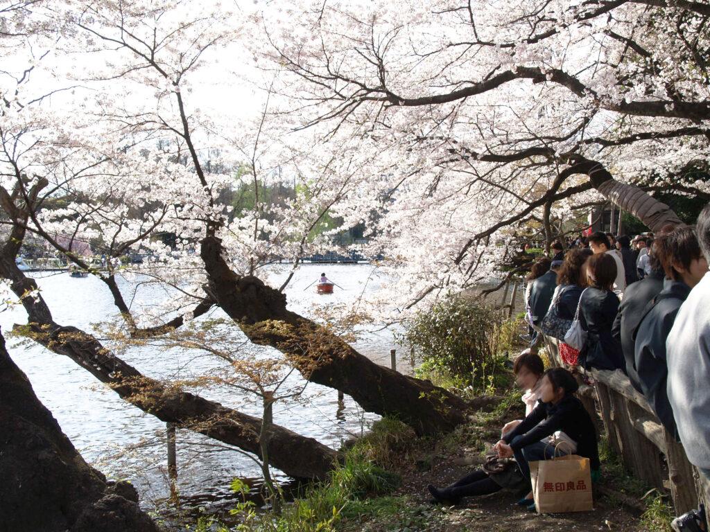 井の頭公園の桜と池のほとりで花見を楽しむ人々