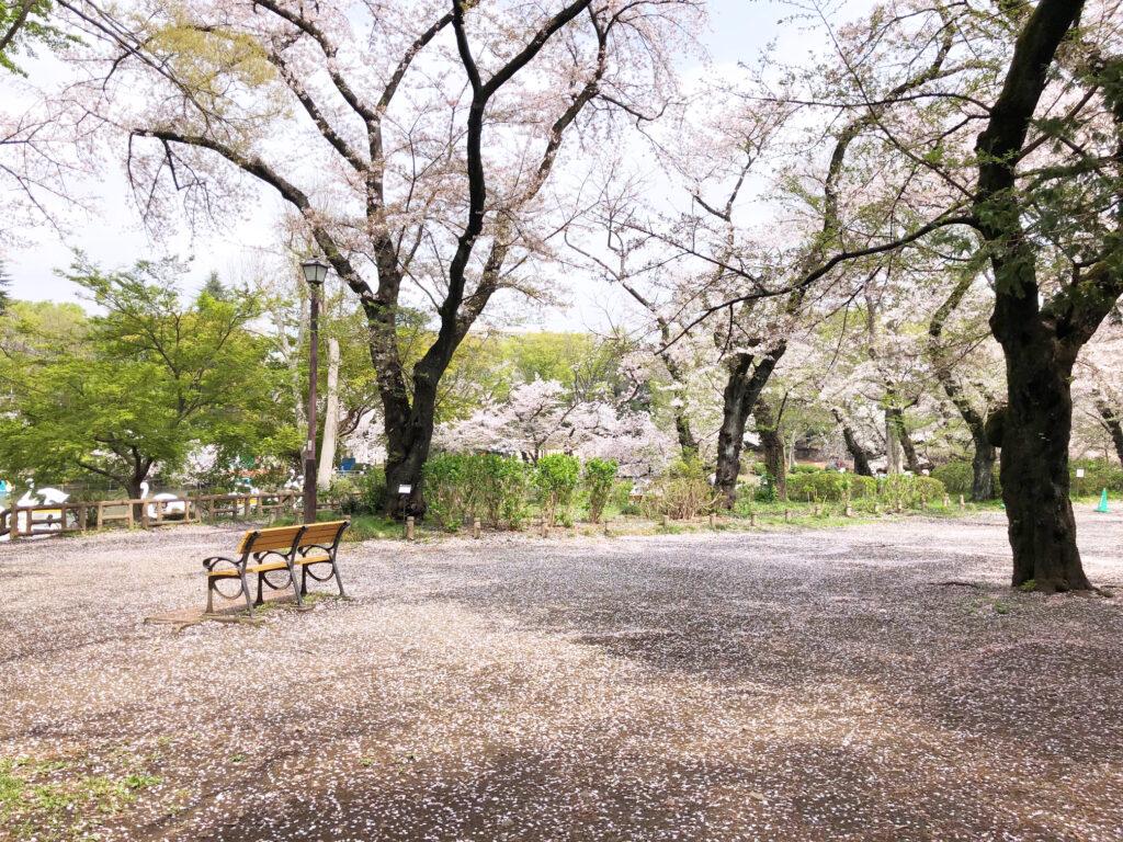 井の頭公園の思い出ベンチと桜吹雪