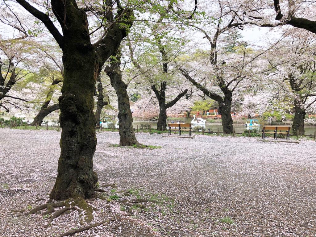 井の頭公園のスワンボートと桜吹雪