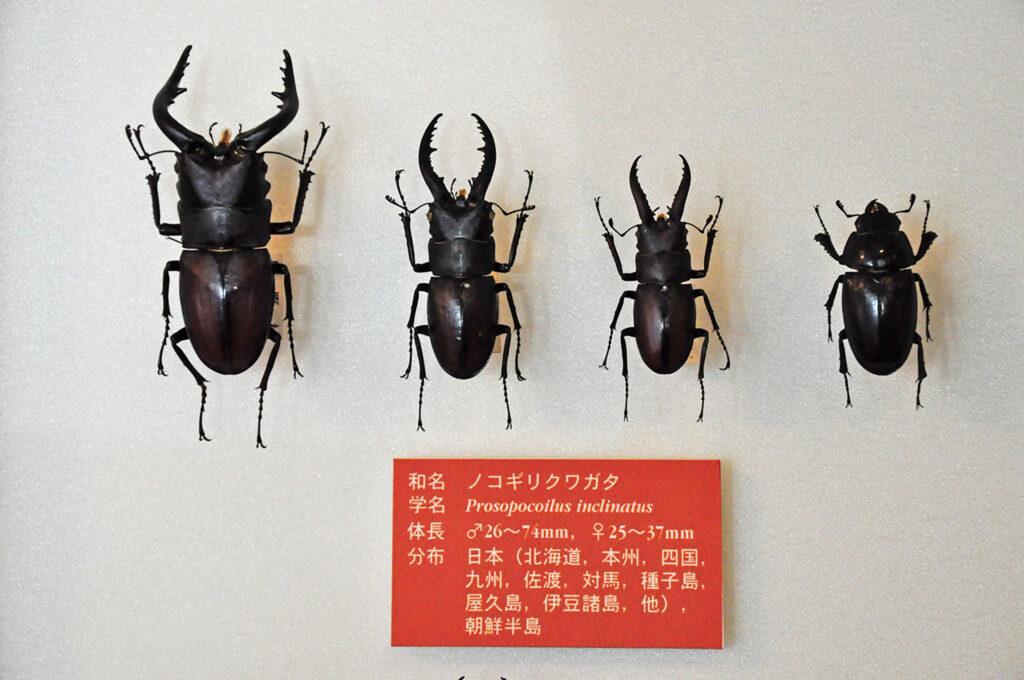 三鷹 諏訪クワガタ昆虫館